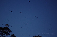 Night raid (tiabunna) Tags: sky animal dark lens prime evening flying focus pentax native 14 group bat australia m nsw manual 50 smc batemansbay fruitbats greyheadedflyingfox pteropuspoliocephalus nauticaltwilight
