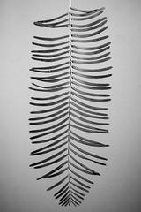 Metasequoia leaves (Blinding Color) Tags: metasequoia dawnredwood