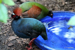 Crested Wood Partridge (beachkat1) Tags: tennesseeaquarium chattanogga