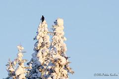 Black Woodpecker, 19.1.2013 Ranua (Olli Pekka Karlin) Tags: blackwoodpecker dryocopusmartius palokärki