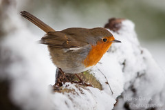 Robin in winter snow (Sadloafer) Tags: uk winter snow cold nature robin birds horizontal wildlife nopeople ornithology birdwatching britishwildlife clumberpark britishbirds beautyinnature differentialfocus gettywants sadloafer hansdavisphotography
