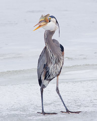 Great Blue Heron with Fish (m_Summers) Tags: winter fish cold bird heron nature utah fishing northernutah feeding wildlife greatblueheron canon400mmf56 canon60d