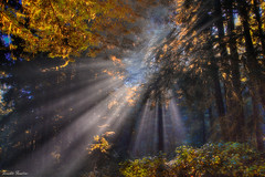 Effulgence (Fereshte Faustini) Tags: ca trees sunlight mist nature forest illumination redwoodtrees fineartphotography naturephotography landscapephotography effulgence redwoodnationalforest fereshtefaustini