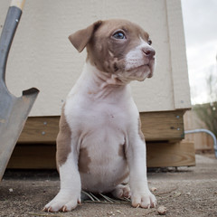 Ms. Mocha at the Shed (Immature Animals) Tags: county arizona rescue baby southwest cute animal tucson shed adorable az save pit bull marshall pitbull pima derek bark paws brindle alter neuter spay koalition pacc backpacc