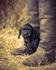 Still messing with boots-1 (d3max) Tags: portrait cute dogs animals canon puppies canine spaniel mansbestfriend workingdogs gundogs 5dmkiii martinhillphotography