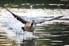 Canada Goose (Branta canadensis) chased off by Mute Swan (Cygnus olor) (Jeff G Photo - 2m+ views! - jeffgphoto@outlook.com) Tags: southpark southparkilford swan muteswan canadagoose goose geese canada water lake waterfowl flight park cygnusolor brantacanadensis