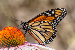 Monarchs are back (tresed47) Tags: 2016 201607jul 20160720chestercountymisc butterflies canon7d chestercounty content folder insects monarch pennsylvania peterscamera petersphotos places springtonmanor takenby us ngc