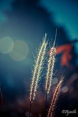 Bokeh (ajanth.v) Tags: bokeh nikon d7100 18140mm morning mountainside sunrise outdoor knuckles mountain range natural lights