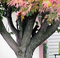 Japanese Red Maple (DonaSite) Tags: throughmywindow summer backyardohio squirrel sunny japanesemaple