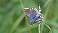 Common Blue - Female (jaytee27) Tags: commonbluefemale naturethroughthelens