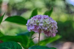 more hydrangea (kderricotte) Tags: hydrangea flower summer plant bokeh depthoffield sonya6000 helios44m458mmf2