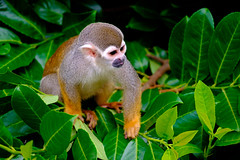 Squirrel monkey (www.ziggywellens.com) Tags: squirrel monkey animal wildlife outdoor wild young energy nature