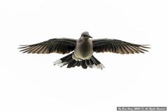 Spotted dove (Spilopelia chinensis)_DSC3692-3 (BoonHong Chan) Tags: spotteddovespilopeliachinensis spotteddove spilopeliachinensis dove singapore singaporebird kranjimarshes nikon nikkor nikond500 nikkor200500mmf56 boonhong