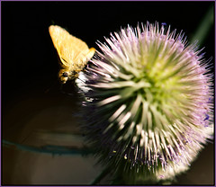 Skipper along for the ride (Karen McQuilkin) Tags: skipper macro teasel ride karenmcquilkin nature hike weed wild summer