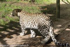 DSC_2384 (Pascal Gianoli) Tags: beauval lion lionne panther panthere panthre tigre zoo zooparc saintaignansurcher centrevaldeloire france fr pascal gianoli pascalgianoli