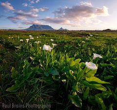 Table Mountain Arums (Panorama Paul) Tags: paulbruinsphotography wwwpaulbruinscoza southafrica westerncape capetown tablemountain rietvleinaturereserve arumlilies zantedeschiaaethiopica sunset nikond800 nikkorlenses nikfilters vertorama