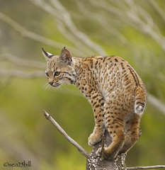 BOBCAT (sea25bill) Tags: bobcat predator cat wildlife nature animal morning sun tree california lynxrufus