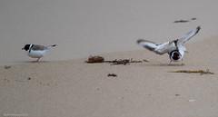 Typical..... (Mykel46) Tags: marionbay southaustralia australia au hooded plover dotterel birds dance canon 1dxmk2 500mmf4 14xtele