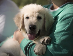 Hank5 (TaylorB90) Tags: taylor bennett taylorbennett canon 5d 5d3 7020028isii 70200 28 is ii 135l 135mm sharp golden retriever puppy goldenretriever goldenretrieverpuppy hank hoyt play cute animals puppies dogs farm