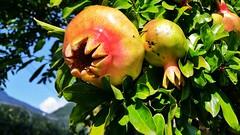 Frucht mit Krnchen (Renate Bomm) Tags: fruits obst obstbaum tree mispel colors renatebomm canonflickrawardgold flickerunitedaward 366 2016 goldengallery golden onceinyourlife ngc