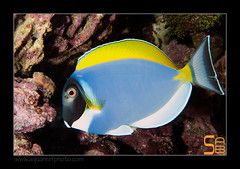 ALAIN2leuco6425 (kactusficus) Tags: marine reef aquarium alain captive ecosystem rcifal acanthuridae chirurgien surgeonfish tang acanthurus leucosternon blue powder poitrine blanche