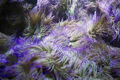 Psychedelic Anemones (Peter Storr) Tags: bluereef aquarium blue reef light water shining deep underwater undersea marine animals tank anemones psychedelic purple north shields newcastle sunderland tyne wear