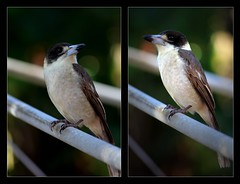 Mr Butcher (Seeing Things My Way...) Tags: butcherbird bird beak plumage australianbirds backyardbirds bokeh