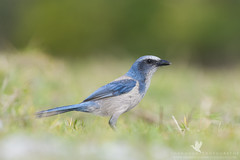 Florida Scrub Jay (santosh_shanmuga) Tags: florida fl scrub jay endangered bird songbird passerine birding aves wild wildlife nature animal outdoor outdoors threatened forage nikon d3s 500mm volusia