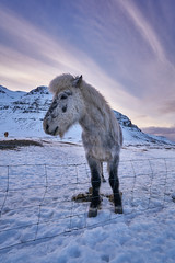 This Is My Good Side (denny.yang) Tags: none iceland icelandic horse sunset purple skies sony a7rii a7rm2 mountains snow winter denny yang dennyyang
