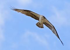I Blinked First (Slow Turning) Tags: pandionhaliaetus osprey bird raptor fishhawk flying flight birdinflight bif wings sky eyecontact summer southernontario
