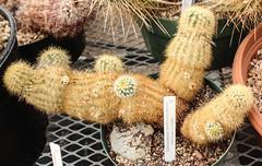 Echinocereus viridiflorus var. correllii (Nylon Hedgehog Cactus) - cultivated (Arthur Chapman) Tags: echinocereus viridiflorus correllii echinocereusviridiflorus echinocereusviridiflorusvarcorrellii nylonhedgehogcactus greenpataya chihuahuandesertnaturecenterandbotanicalgardens chihuahuandesertbotanicalgardens fortdavis texas usa unitedstatesofamerica taxonomy:kingdom=plantae taxonomy:phylum=magnoliophyta taxonomy:class=magnoliopsida taxonomy:order=caryophyllales taxonomy:family=cactaceae taxonomy:genus=echinocereus taxonomy:binomial=echinocereusviridiflorus taxonomy:trinomial=echinocereusviridiflorusvarcorrellii taxonomy:common=nylonhedgehogcactus taxonomy:common=greenpataya geocode:accuracy=100meters geocode:method=gps geo:country=unitedstatesofamerica geo:country=mexico collectingevent:validdistributionflag=false