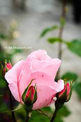 Aya Sofya10-0486rw (Luciana Adriyanto) Tags: travel turkey istanbul museum ayasofya hagiasofia flowers v1olet lucianaadriyanto