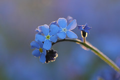 Forget-me-nots (Pog's pix) Tags: forgetmenots wildflower nature scotland ayrshire eastayrshire dunlop dunlopmillenniumwoodlandnaturepark flower pretty curve isolated backlit evening sunshine bokeh flare outdoors outdoor outside flora