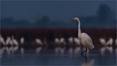DSC_6158-Edita (Viktor Honti) Tags: nikon d7100 tamron 150600 wildlife nature bird hungary egretta alba