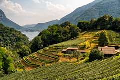 Vineyard near Arogno (Ticino, Switzerland) (clodio61) Tags: arogno ceresio europe lugano maroggia switzerland ticino agriculture color day farm green hill lake landscape nature outdoor photography plant summer tree view vine vineyard