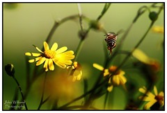 Flight of the Humble Bee. (juliewilliams11) Tags: photoborder flower yellow plant outdoor newsouthwales australia canon bee insect flying flight