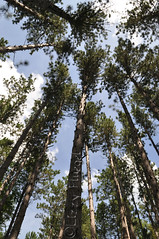 Tree Tops (lizzyslandscapes) Tags: tree tops itasca lizzyslandscapes sunshine summer state park statepark trees forest etsy blue skies sky leaves redpine red pine beauty nature natural
