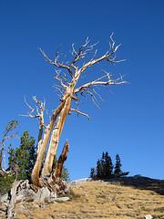 Snag (Mike Dole) Tags: johnmuirtrail anseladamswilderness sierranevada california inyonationalforest