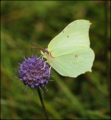 Female Brimstone nectaring on Devilsbit Scabious II (glostopcat) Tags: brimstonebutterfly butterfly insect invertebrate glos wildflower devilsbitscabious butterflyconservation prestburyhillnaturereserve