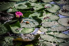 Amongst (Melissa Maples) Tags: ludwigsburg germany europe nikon d5100   nikkor afs 18200mm f3556g 18200mmf3556g vr residenzschloss palace blhendesbarock garden summer pond water lotusblossom flower lilypads green