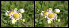 Tarnished Plant Bug, Lygus Lineolaris, on Robins Plantain, Erigeron Pulchellus 2 - Crosseye 3D (DarkOnus) Tags: pennsylvania buckscounty huawei mate8 cell phone 3d stereogram stereography stereo darkonus closeup macro insect tarnished plant bug lygus lineolaris robins plantain erigeron pulchellus crossview crosseye