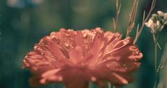 Waterdrops (oliko2) Tags: waterdrop flower pink dof depthoffield nature plant nikond7100 35mm outdoor sun