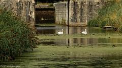 Les cygnes de l'cluse (photos.osmose) Tags: cygnes tang eau cluses campagne promenade amoureux rivires canal