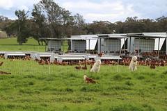 maremmas guarding hens Free range chickens Yandoit Victoria Australia_8488 (gervo1865_2 - LJ Gervasoni) Tags: free range chickens yandoit victoria australia farming agriculture eggs food production maremma alpaca