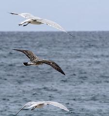 (Adisla) Tags: olympus em1 mzuiko 40150mm f28 ave volar gaviota mar