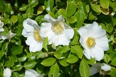 DSC_5720 Rosa sp., Waite Campus, Uni of Adelaide, South Australia (johnjennings995) Tags: white flower flowers rose adelaide waitecampus southaustralia australia rosa