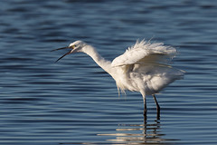 """Now you've really ruffled my feathers"" (Gary McHale) Tags: little egret rspb leighton moss ngc npc"