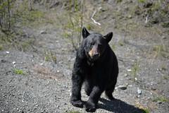 FINDING MY PLACE IN THE GREAT WIDE OPEN  -  (Selected by GETTY IMAGES) (DESPITE STRAIGHT LINES) Tags: nikon d800 nikond800 nikkor200500mm nikon200500mm nikongp1 paulwilliams despitestraightlines flickr gettyimages getty gettyimagesesp despitestraightlinesatgettyimages bear blackbear babyblackbear wildanimal wildbear claws paw paws fur nature mothernature ursusamericanus animalia carnivora ablackbeareatinggrass blackbearonalaskahighway