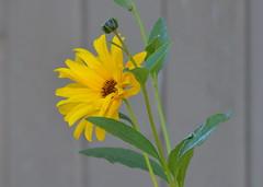 Yellow Flower (Neal D) Tags: bc surrey crescentbeach flower