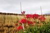 Lycoris radiata. (lakeside_cat) Tags: clusteramaryllis hurricanelily lycorisradiata flower redflower 花 彼岸花